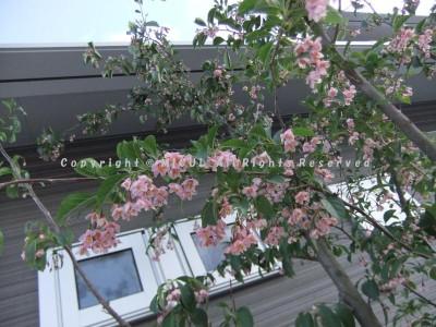 紅花エゴの木